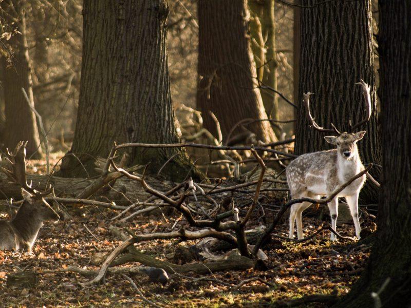 Un cerf dans les bois